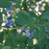 Thumbnail image for Locals: Pungo Blueberries and Blackberries (Save On Produce)