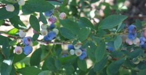 Post image for Locals: Pungo Blueberries and Blackberries (Save On Produce)